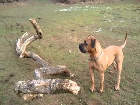 Mastiff/American Bull Dog mix. - YouTube