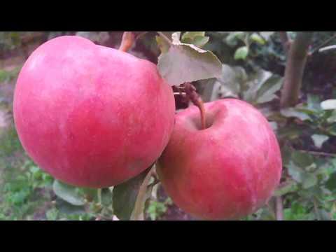 яблоня сорт позднезимний Айдаред