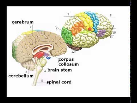 Introduction to Brain Structure and Function - YouTube