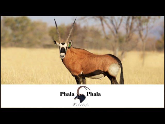 Red Oryx bull Dune