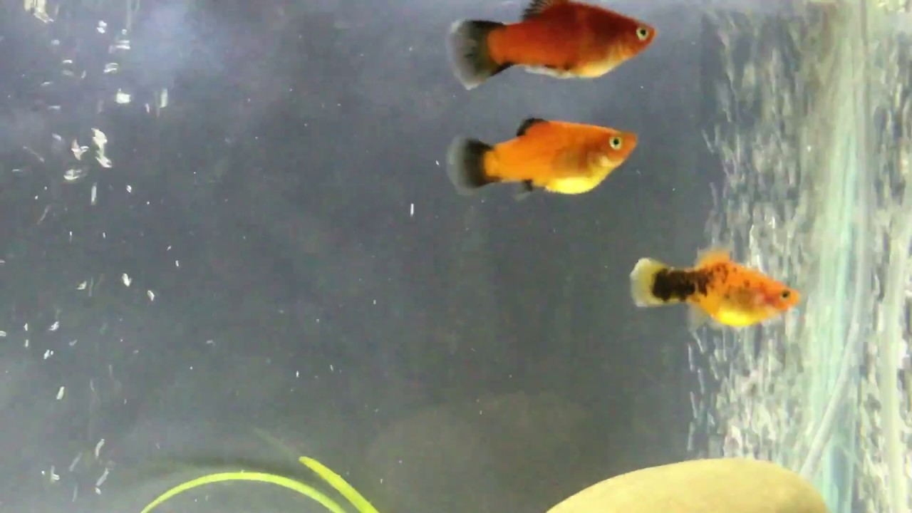 Is my red wag platy pregnant - YouTube