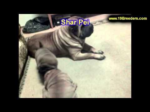 Sharpei, Puppies, For, Sale, In, East Honolulu, Hawaii, HI, Makaha, Pukalani, Haiku Pauwela, Maili,