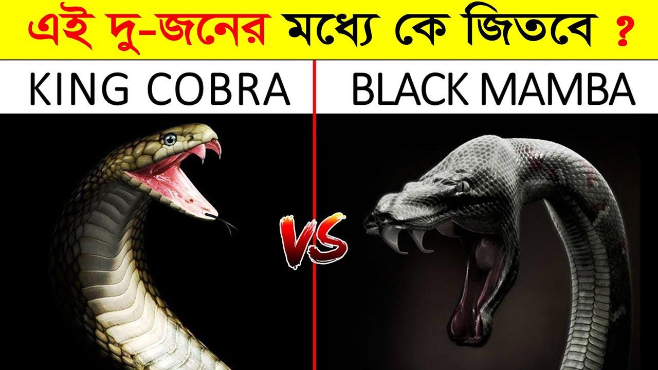 এই দুই ভয়ংকর সাপের লড়াইয়ে কে জিতবে ? KING COBRA VS BLACK MAMBA | King cobra | Black mamba