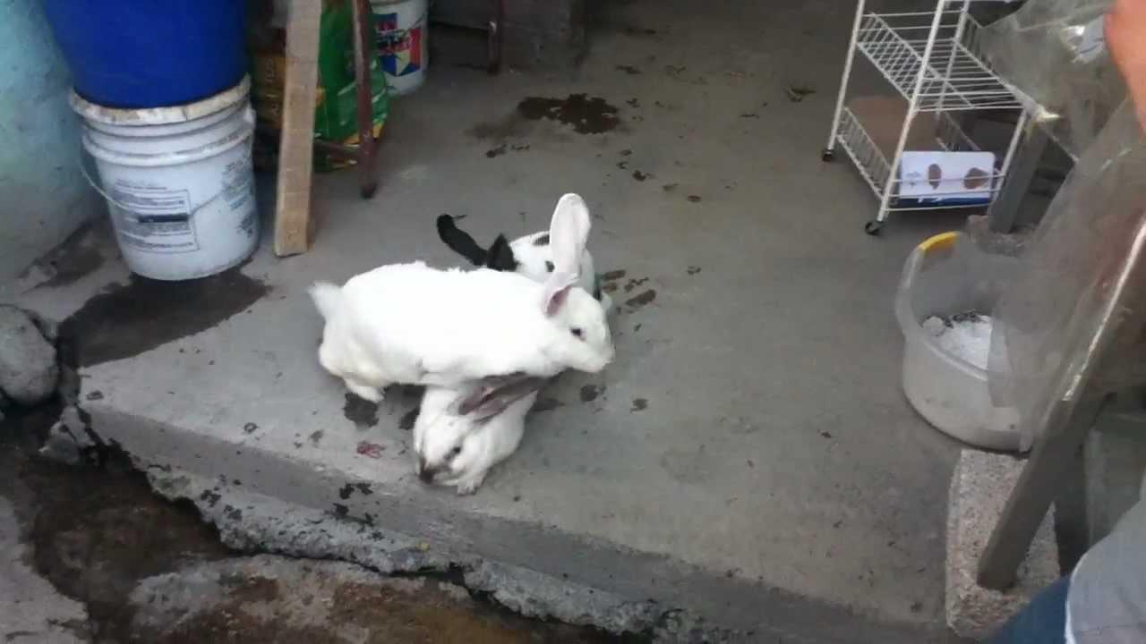 Como Cojen Los Conejos