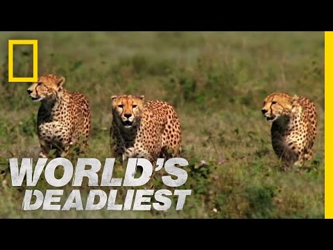 Usain Bolt Vs A Cheetah Man V Cheetah Doovi