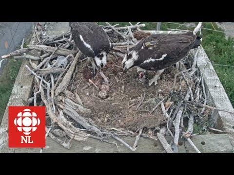 The osprey chicks have arrived