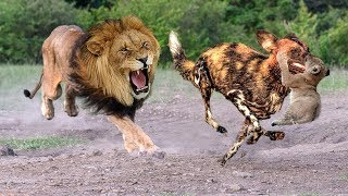 Mother Lion Save Lion Cubs From 10 Wild Dogs - Epic battle! Wild Dogs vs Lion