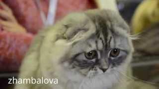 Славный серый шотландский вислоухий котенок - о какие глаза