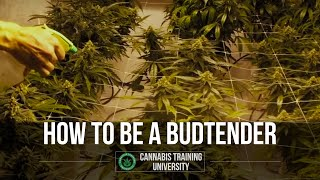 Marijuana Strains-How to be a Bud Tender