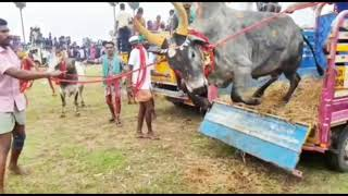bull fight amazing fire bull tamil suvai | tamil