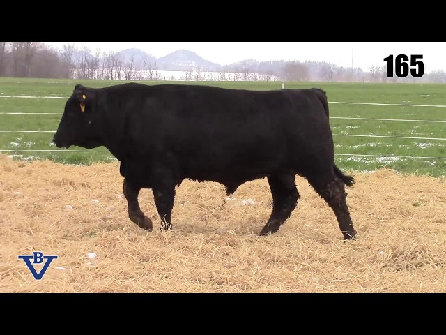 Branch View Angus Lot 165