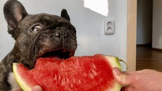 ASMR Dog eating watermelon | French bulldog