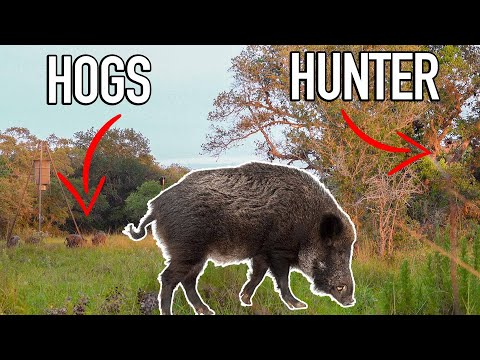 Bowhunting WILD PIGS W/ Ranch Fairy! 🐗 BROADHEAD TESTING!