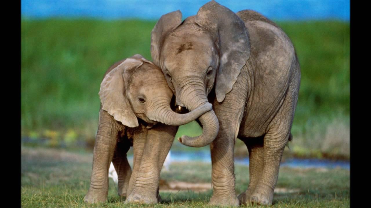 Картинки слон интересные факты этой причине