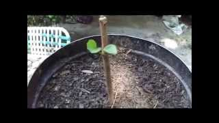 How To Grow Fruit Trees From Cuttings. By: Rick Gunter thumbnail
