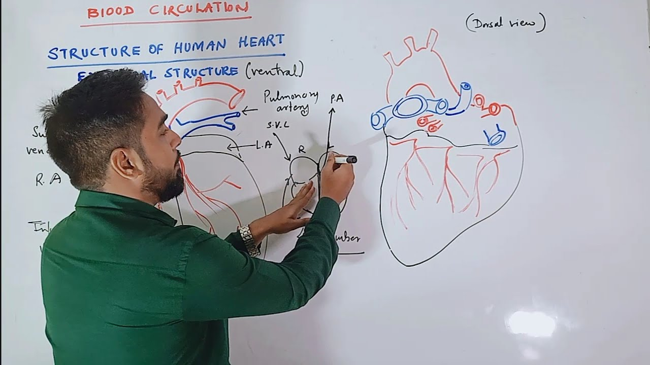 Circulation of Blood Structure of Human heart Class 12 ...