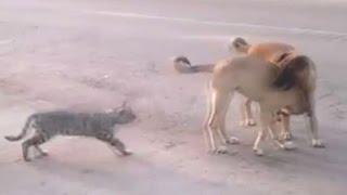 Köpeklere saldıran yürek yemiş kediler