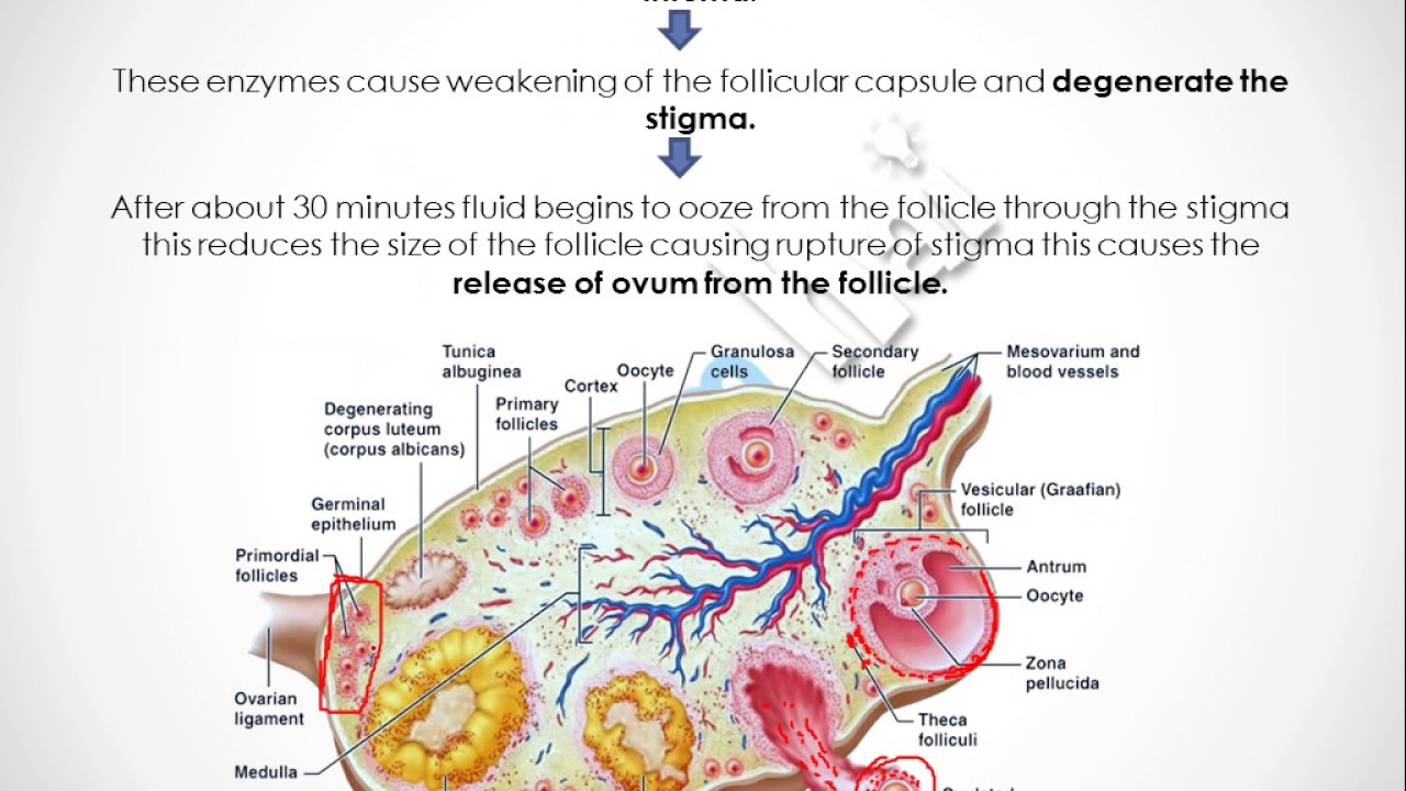 parts of the ovum