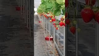 딸기수경재배