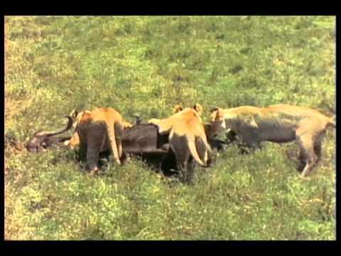 Lions of Musiara Marsh