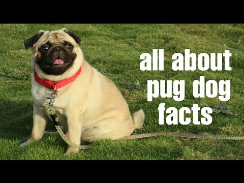 HOW TO CHECK PURE PUG DOG BREED IN HINDI || PURE PUG DOG BREED || PUG DOG