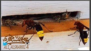 شاهد #هجوم #الدبابير على خلايا #النحل