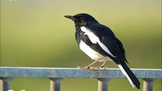 Download lagu 雀鳥叫聲 – 鵲鴝 Bird Calls – Oriental Magpie Robin