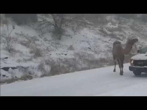 Camel stranded on snowy highway takes social media by (snow)storm