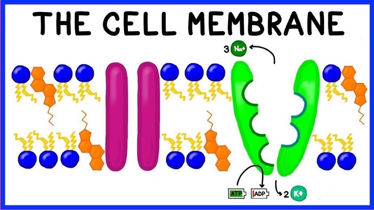 Diagram Of Fluid Mosaic Model Cell Membrane Nurse Call System Wiring Structure Function And The Youtube