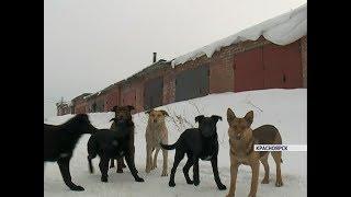 В Красноярске стая собак покусала сразу несколько человек