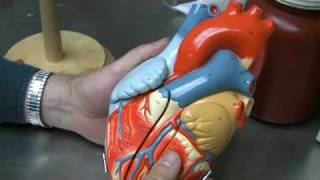 Heart Anatomy Part 1