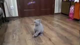 Лиловые британские котята. Ласковый задорный малыш!