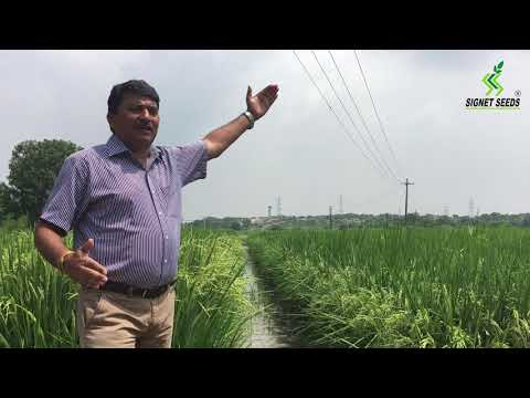 India's Top Agriculture Seed Company-SIGNET SEEDS | किसानो क