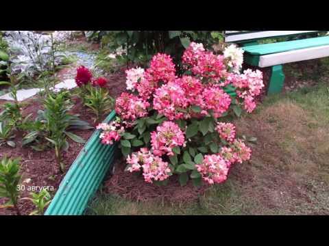 ✿➽  В нашем саду цветет гортензия  «Diamant Rouge»  2016 г