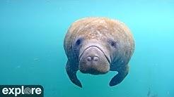 Homosassa Springs Underwater Manatees powered by EXPLORE.org