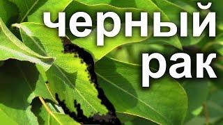 видео Лечение плодовых деревьев