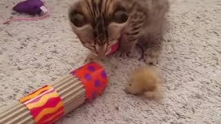 Amazing Female Savannah F1 kitten for sale $2000