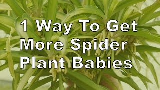 More Spider Plant Babies! Here's 1 Thing You Need To Know.