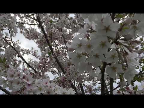 🌸🌸my-cherry-blossom-tree.😃🌸