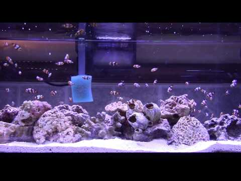 Clownfish Fry Tank 3rd Stage Of Growth ~ Clownfish Hatchery