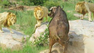 3 Lions Corner Buffalo With Broken Leg