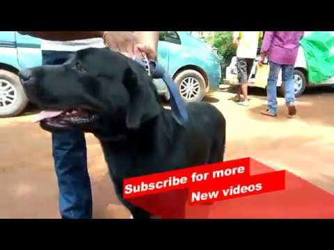 Wow ! Most Amazing dog breeds worldwide | Labrador Retriever |