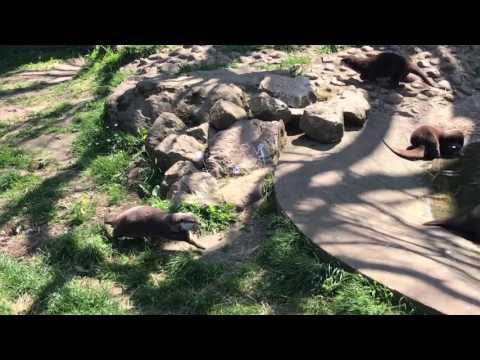 Twycross Zoo - Otters Feeding Part 01