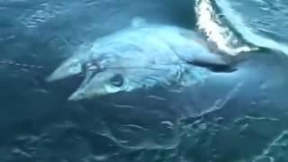 Super giant Tuna 400 kg || The biggest tuna in the worlds