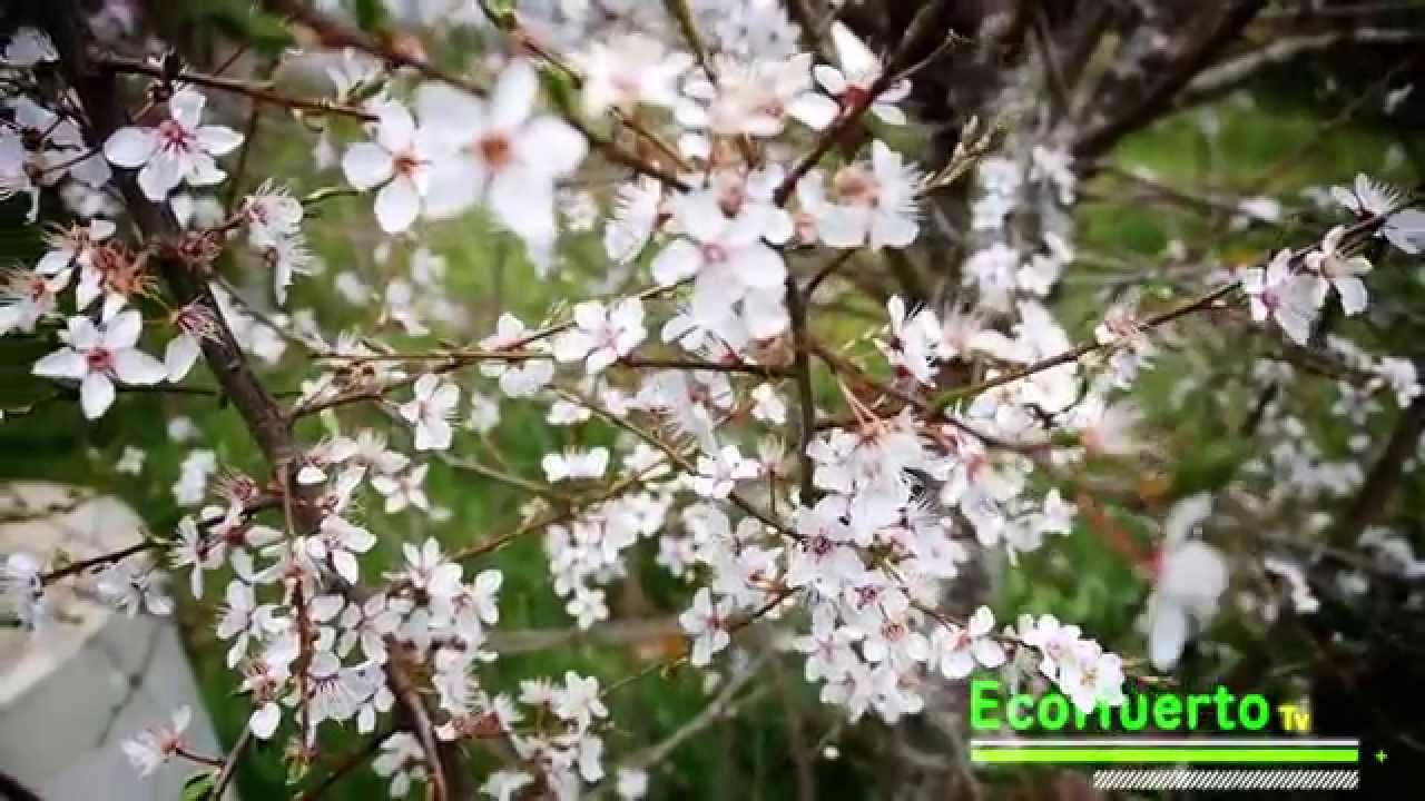 Ciruelo en flor arboles frutales youtube for Viveros de arboles frutales en concepcion