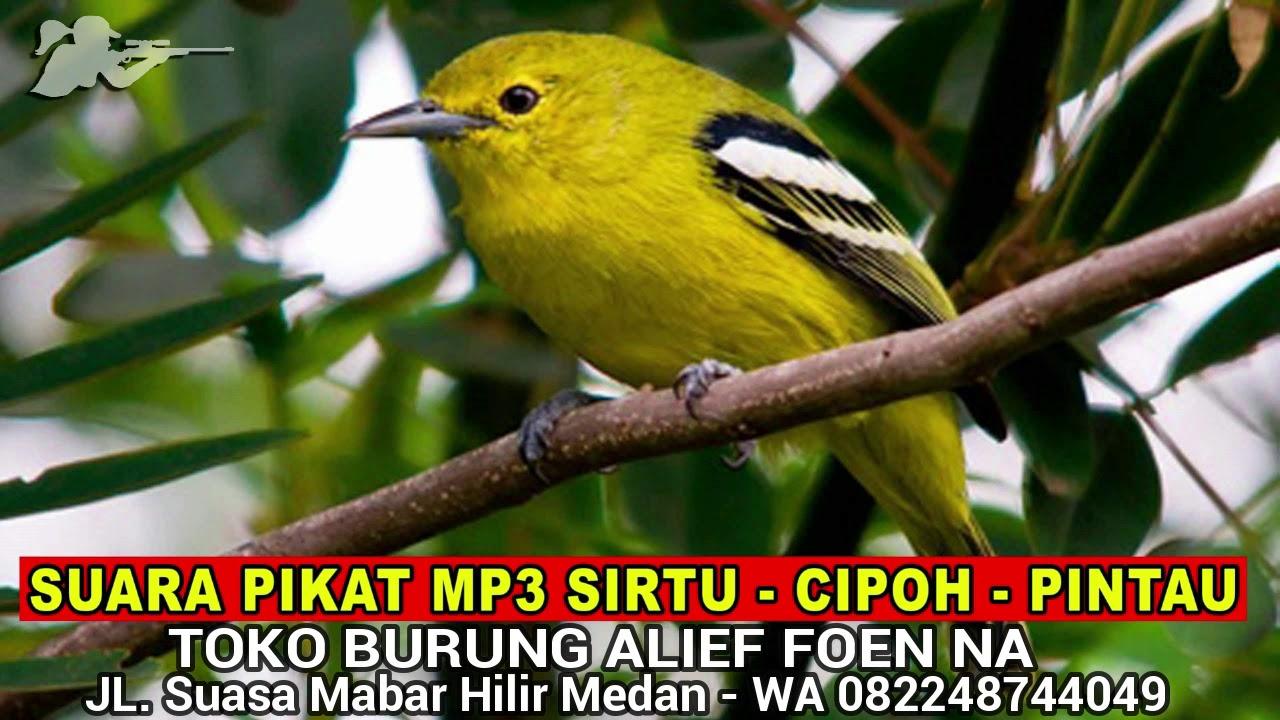 Suara Pikat Mp3 Burung Cipoh Burung Pintau Burung Sirtu Youtube
