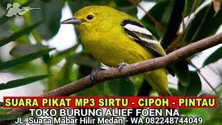 Suara Pikat MP3 Burung Cipoh - Burung Pintau - Burung Sirtu