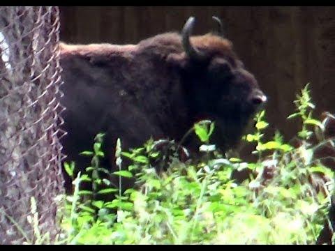 European bison, Białowieża National Park, Białowieża, Podlaskie, Poland, Europe