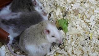 Содержание мастомисов / Описание вида / Размножение