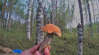 Тихая охота. Грибалка 2020. Вечерний сбор грибов. Архангельская область.#Грибы.